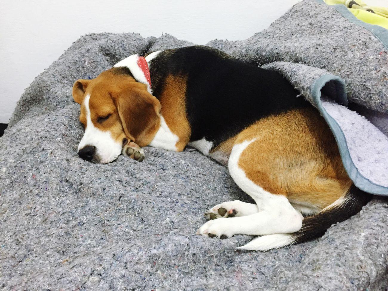 Hoje está ótimo pra dormir ou assistir um filminho... Beagle Beagles  Dog MelhorAmigo Beaglelovers Beaglelove