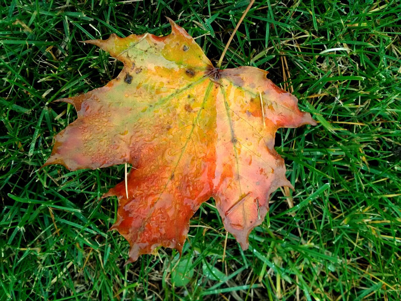 Grass High Angle View Beauty In Nature Leaf Autumn Growth Close-up Field Changing Seasons Autumn Leaves Fall Colors Fall Collection Leafporn Loving Nature's Beauty Autumn🍁🍁🍁 Outdoor Photography Nature On Your Doorstep Maple Hello World ✌ Fallen Leaves Leafs Photography 2016♡ Outdoorlife My Backyard Check This Out 😊