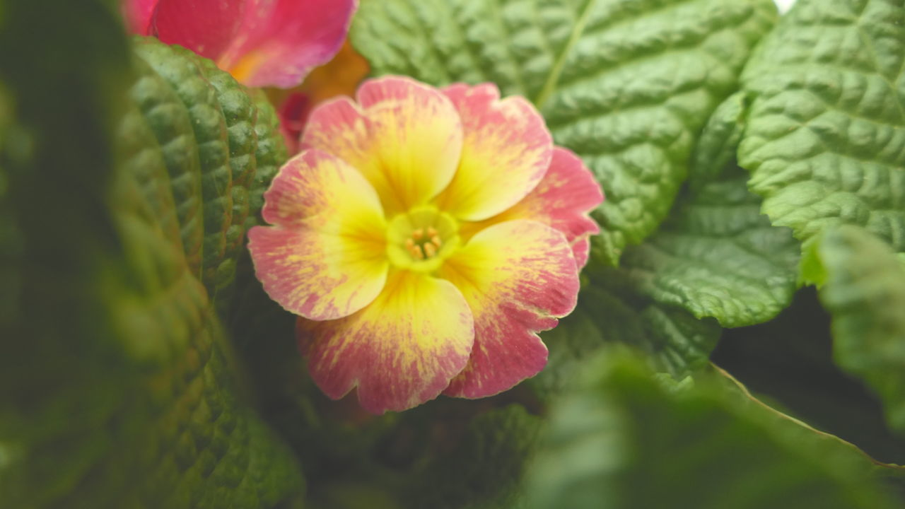 Primrose Flower Nature Fragility Beauty In Nature Flower Head Outdoors Freshness Flowerphotography Primrose Macro_flower Macro Photography Macro_collection Photography Themes Nature Photography Scenics Panasonic DMC FZ1000 Serenity And Nature Serenity Nature_collection Tranquility Spring Flowers Spring Is Coming  Springtime Spring EyeEmNewHere Millennial Pink