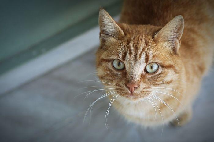 Şaziye Animalfriends Greeneyes Yellowcat Depth Of Field Canoneos1dmk4 Ef2470mm Domestic Cat Pets Feline Looking At Camera