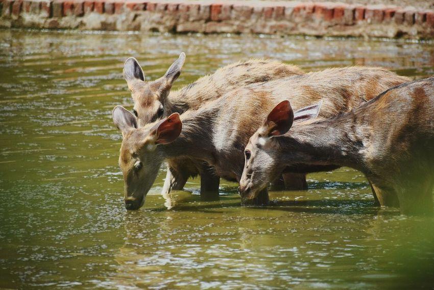 Wildlife & Nature Delhi Follow Like EyeEm Best Shots First Eyeem Photo Close-up The Great Outdoors - 2017 EyeEm Awards Sellphotos Buyphotos Animal Wildlife Mammal Buy Sell Beauty In Nature Followforfollow Followme Cow Water Lake Beautiful Nature
