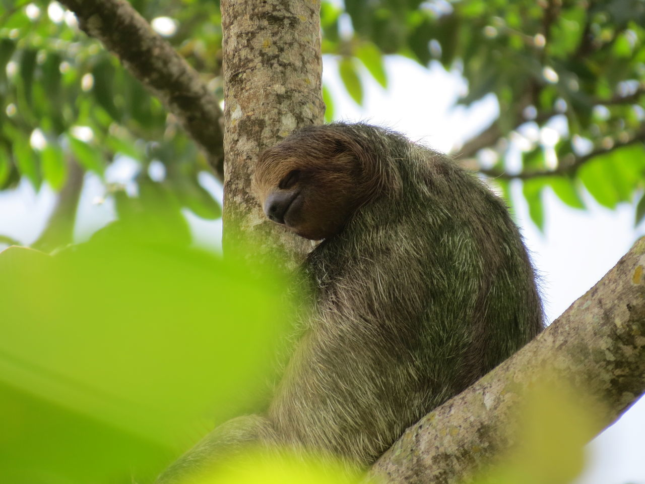 Animal Themes Animals In The Wild Bocos Del Toro Bocos Del Toro, Panama Nature At Its Best Nature Up Close One Animal Panamá Pigmy Sloth Sloth Sloth Island Travel The World Wildlife