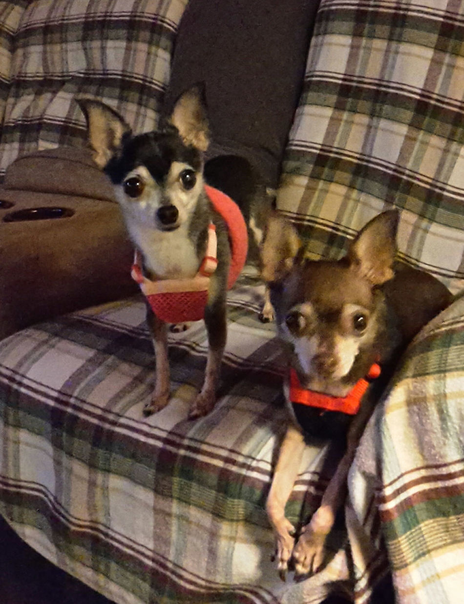 Bella Bella ❤ and Odie Cu-Jose Sitting Pretty waiting patiently for a Treat My Dogs Are Cooler Than Your Kids Chihuahua Lovers Happy Dogs Chihuahua My Life ❤ Chihuahuas<3 Pampered Pets My Best Friend Fooding Casa De Albatross