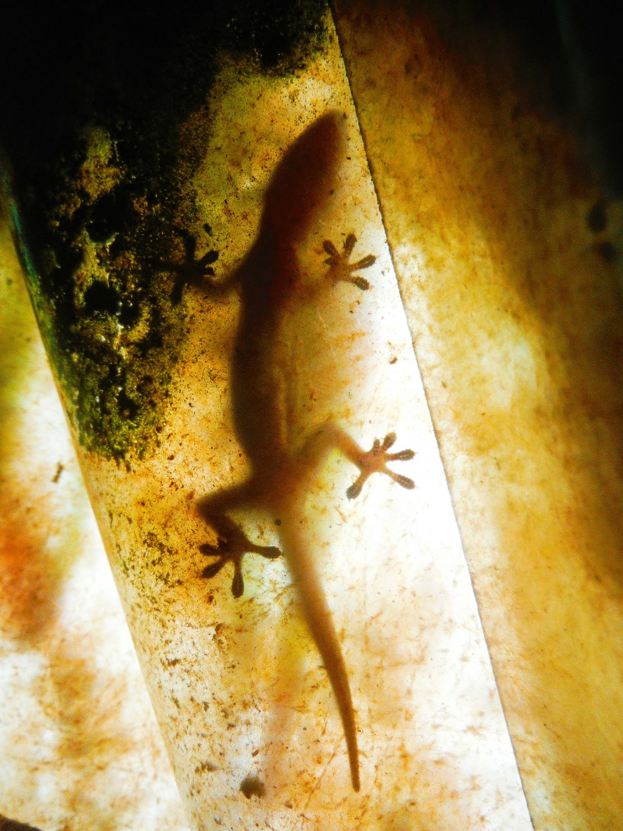 Got a little visitor in my bungalow 🐉 Silhoutte Photography Animal Silhouette Gecko Gecko Lizard Geckos Gecko Silhouette Gecko Shadow Geckolove Lizard Lizard Love Lizard Friend Lizard Close Up Unexpected Visitor Unexpected Guest Koh Chang Ko Chang Thailand EyeEm Thailand Fujifilm Finepix Xp60