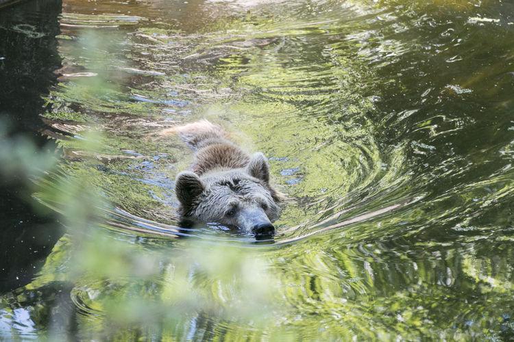 A bear in a river, at the Berlin zoo #Berlin #Nature  #animal #bear #river #water #wild #wildanimal #zoo