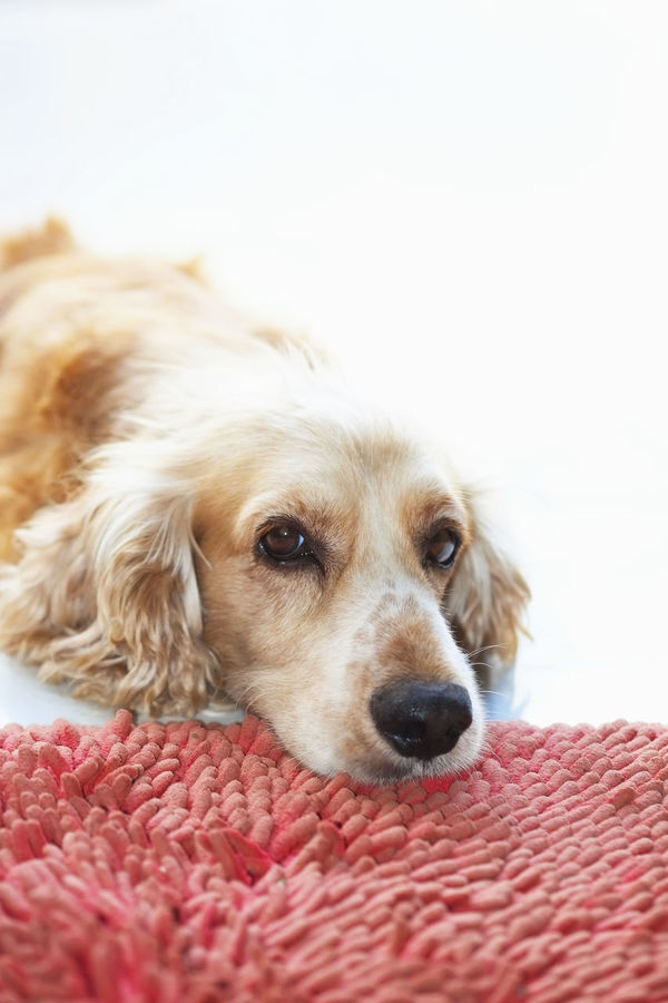 Animal Themes Close-up Cocker Spaniel  Copy Space Day Dog Domestic Animals Golden Retriever Lazy Looking At Camera Looking At Camera Mammal No People One Animal Pets Portrait