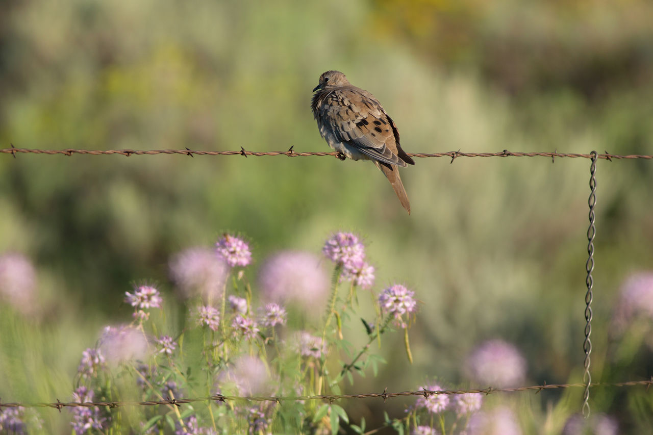Mourning Dove On Barbed Wire Against Flowers