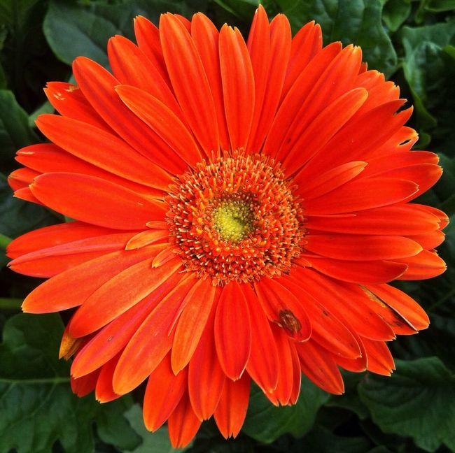 Planten Un Blomen Orange Flower Flower Head Orange Flower Flowerpower Colorful EyeEm Gallery Flowerporn Jopesfotos - Nature
