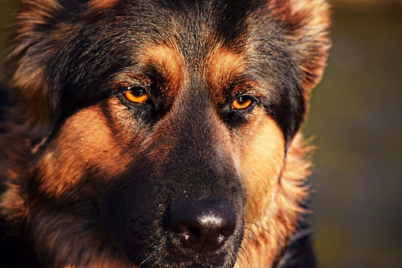 Beautiful stock photos of german shepherd, Animal Head, Animal Themes, Canine, Carnivora