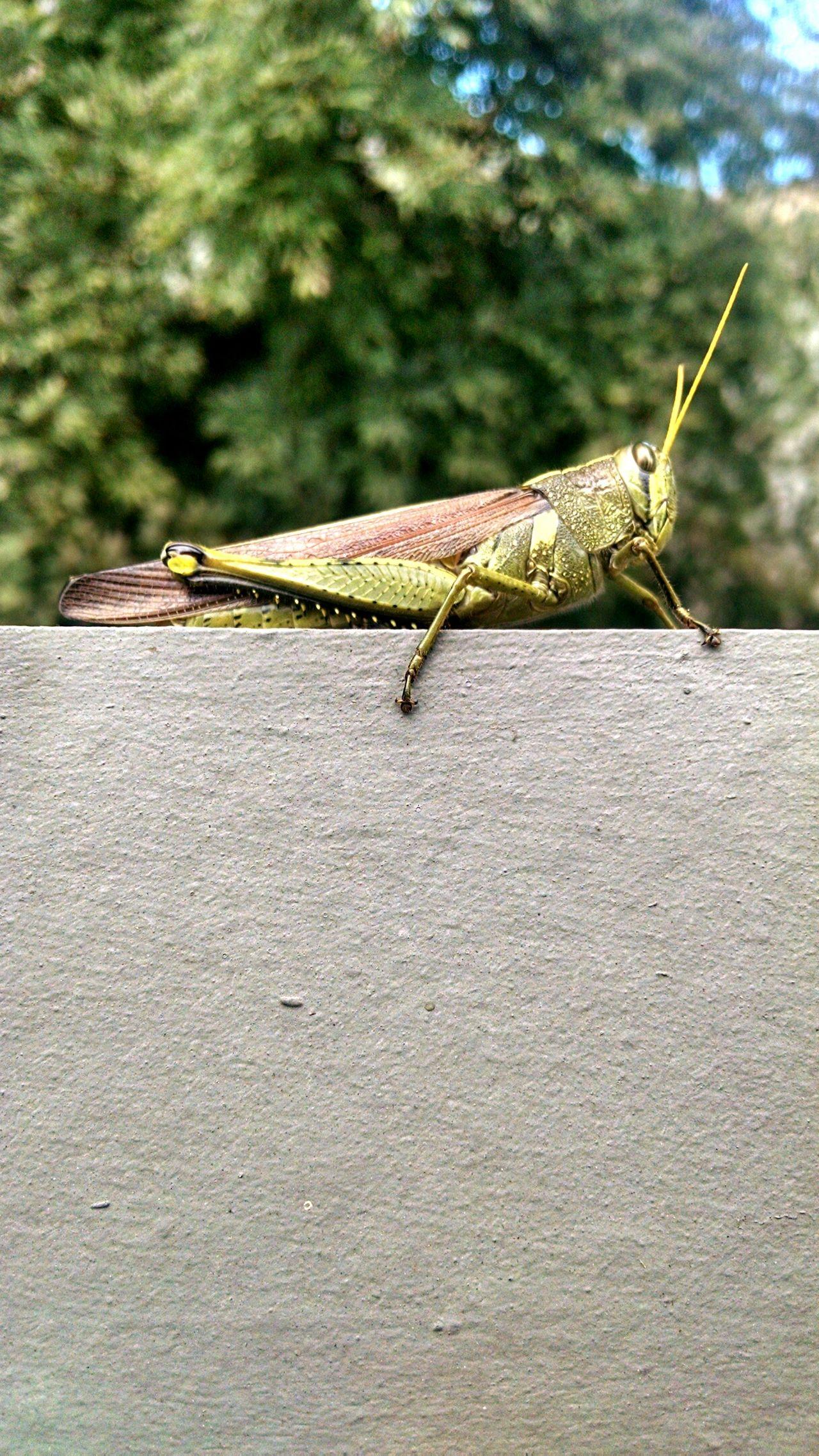 Cement Macro Grasshopper DistantFoliage Grains