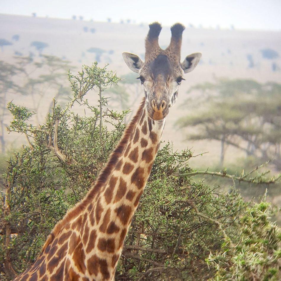 Animals In The Wild Serengeti National Park Tanzania Giraffe