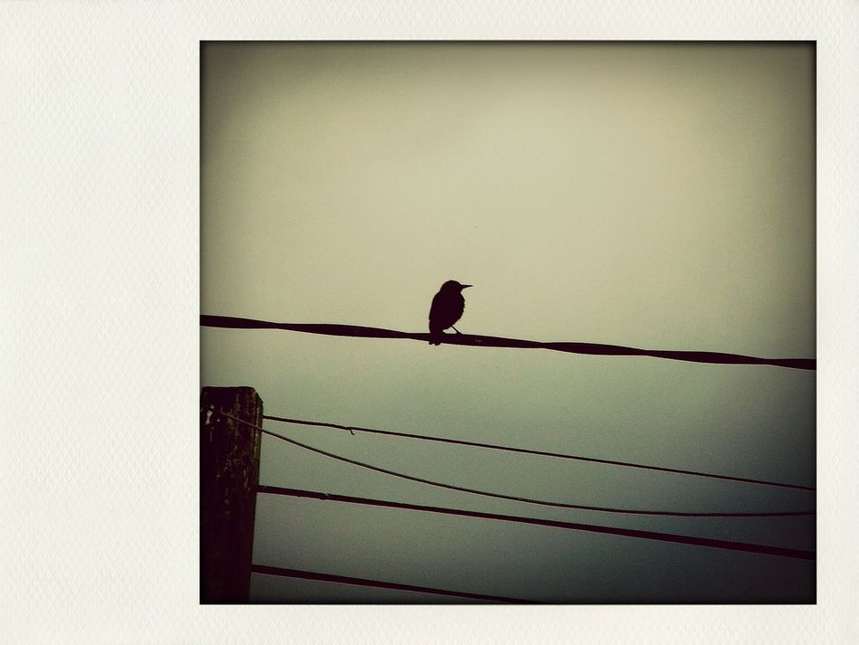 Before The Thunderstorm EyeEm Birds Earlygrey Filter Sitting On The Wire