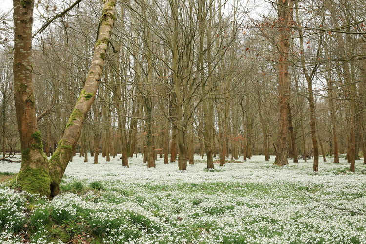 Beauty In Nature Growth No People Scenics Snowdrop Valley Snowdropflower WoodLand
