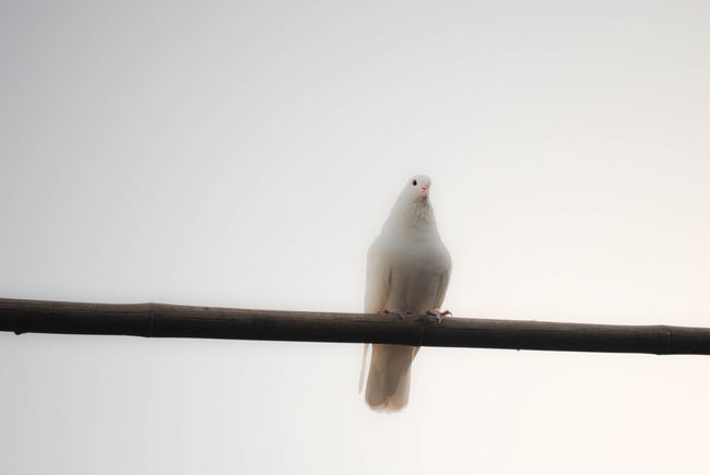 Animal Themes Animals In The Wild Beak Beauty In Nature Bird Clear Sky Copy Space Cover Picture Day Dove Focus On Foreground Full Length Nature On Wood One Animal Perching Selective Focus White Dove Wildlife Zoology