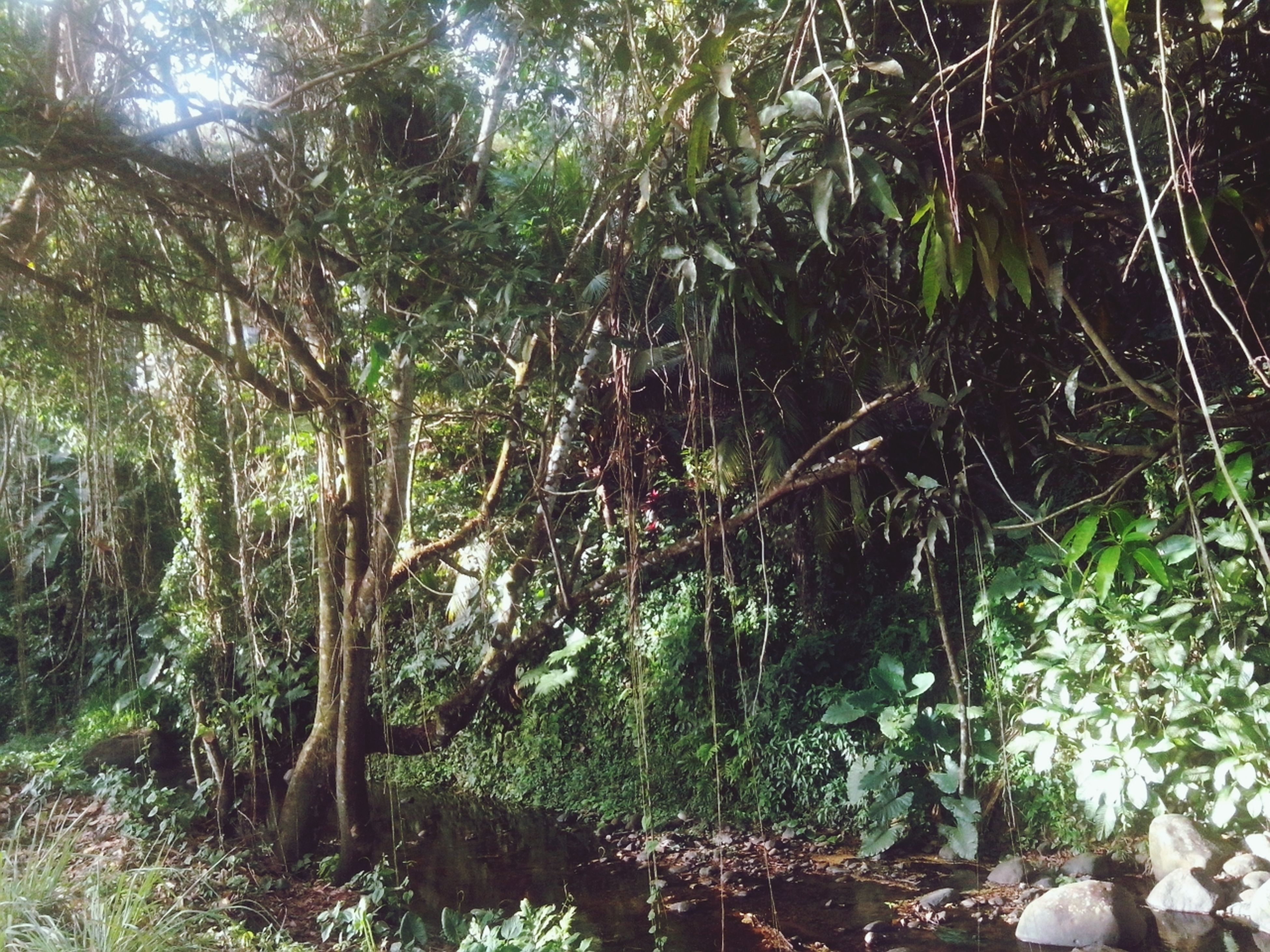 tree, growth, forest, tree trunk, branch, nature, tranquility, woodland, beauty in nature, plant, tranquil scene, green color, low angle view, day, outdoors, scenics, sunlight, no people, non-urban scene, growing