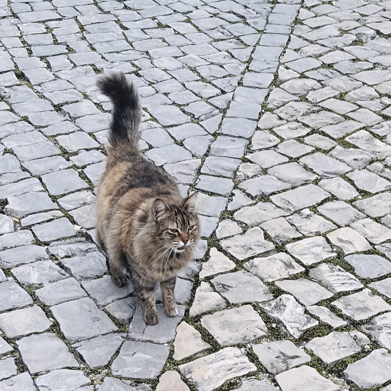 domestic cat, cobblestone, feline, animal themes, pets, domestic animals, street, one animal, mammal, outdoors, day, no people, looking at camera, portrait