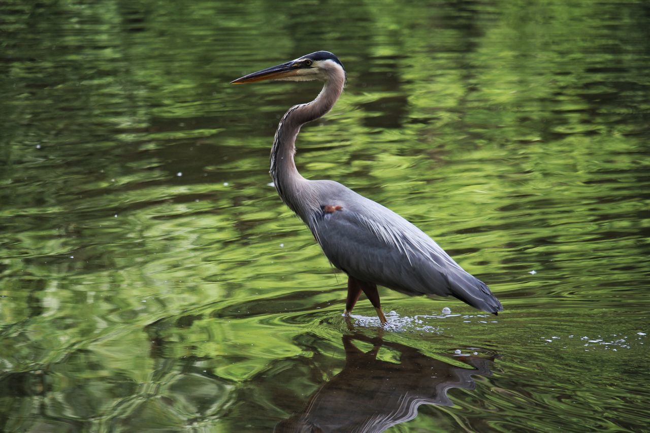 one animal, animals in the wild, animal themes, heron, bird, animal wildlife, great blue heron, water, lake, nature, gray heron, day, no people, outdoors, beauty in nature, perching, close-up