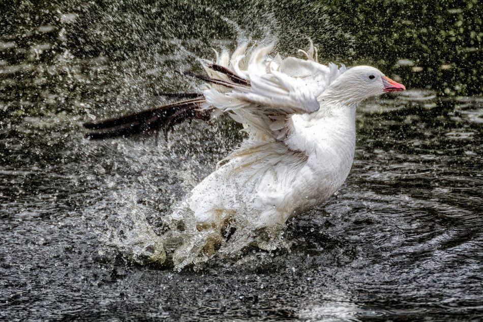 Splash Animal Crest Animal Themes Animals In The Wild Bird Day Duck Feather  Flapping Nature No People One Animal Outdoors Spread Wings Beauty In Nature Feather  Bird Photography Animal Wildlife