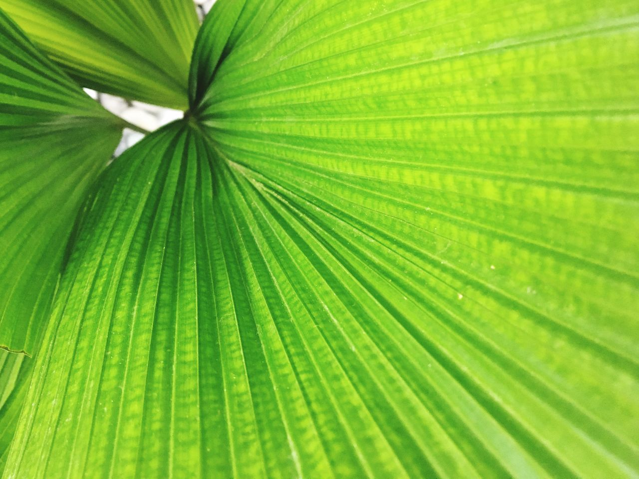 leaf, green color, nature, growth, backgrounds, palm leaf, full frame, frond, freshness, fragility, beauty in nature, close-up, plant, palm tree, no people, day, outdoors