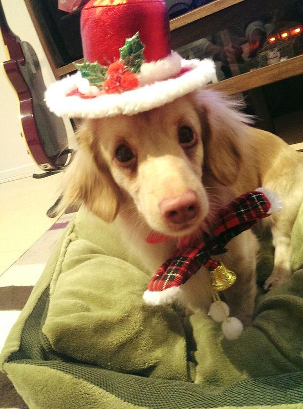 牡丹て言います!どうぞよろしく! First Eyeem Photo Doggy DogLove Dogstagram Dog Life Doglovers Cute Pets ミックス 犬 はじめまして