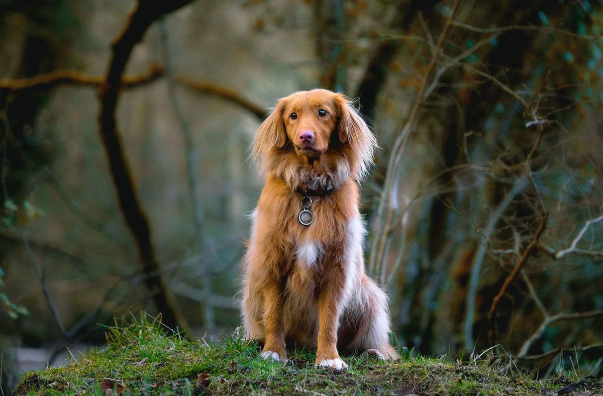 Autumn the Toller Animal Themes Cute Dog  Dog Gun Dog Nova Scotia Duck Tolling Retriever Outdoors Pet Portrait Pets Toller