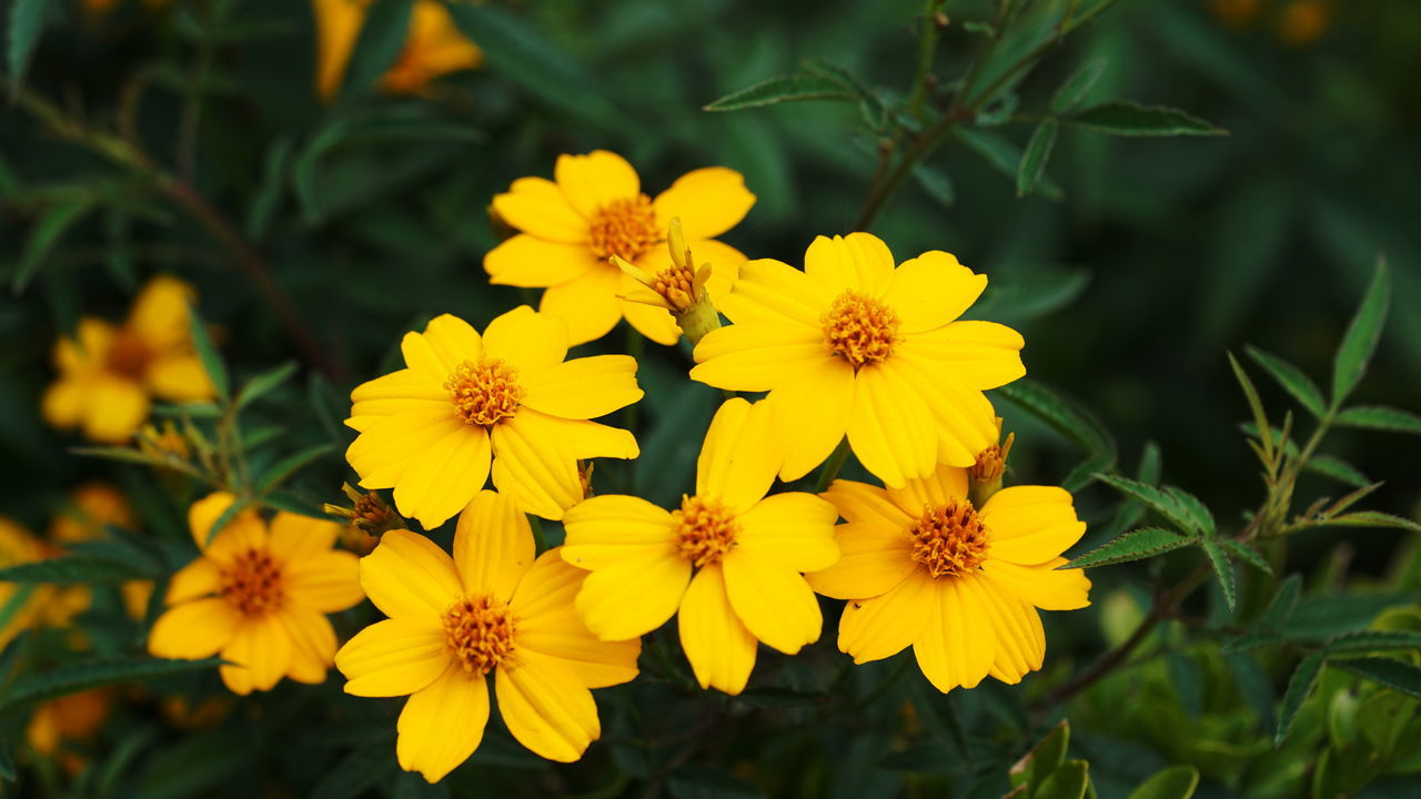 flower, yellow, petal, fragility, beauty in nature, nature, flower head, freshness, growth, plant, no people, outdoors, blooming, day, close-up