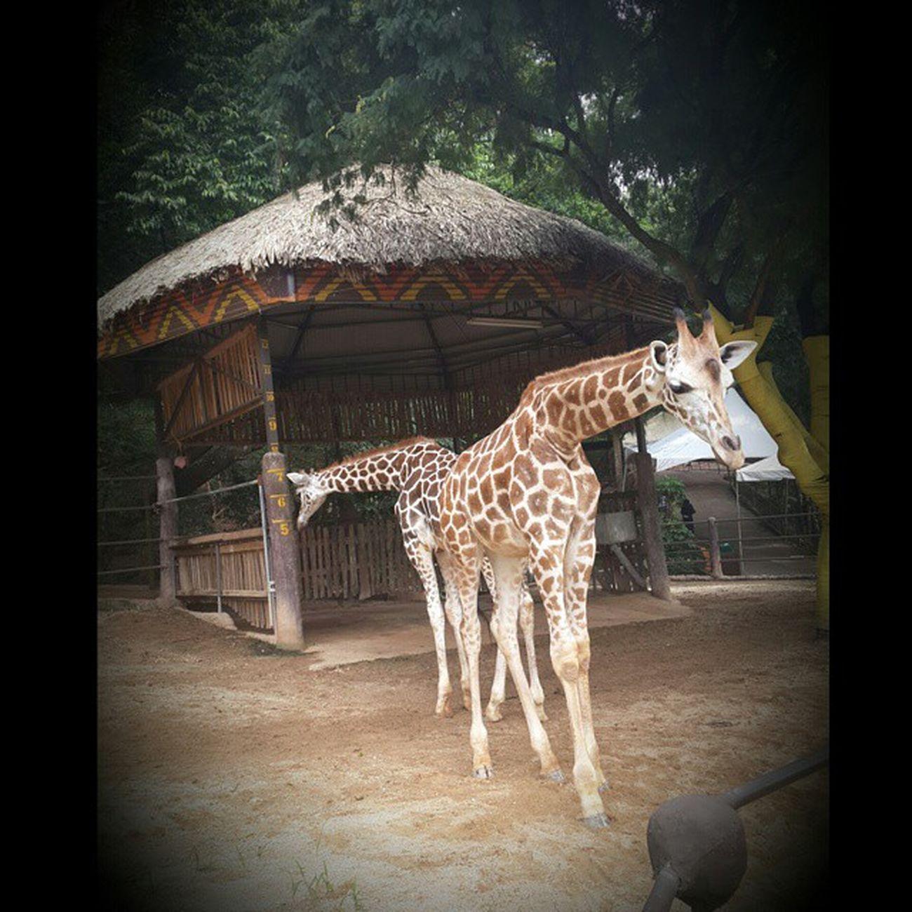 Beautiful Creatures Giraffes Zoo Trinidad Emperorvalleyzoo