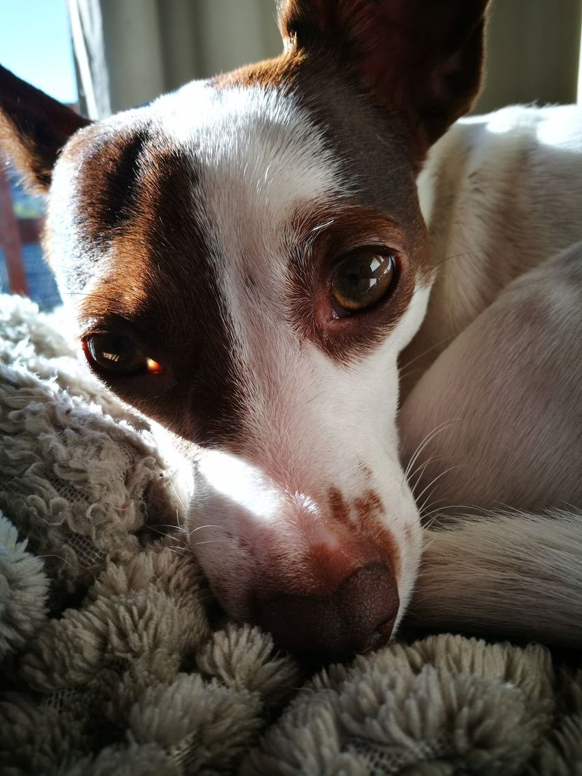 Dog Pets Domestic Animals Looking At Camera Portrait One Animal Close-up Animal Themes No People Day Indoors  Soypanchita Perritochileno EyeEm
