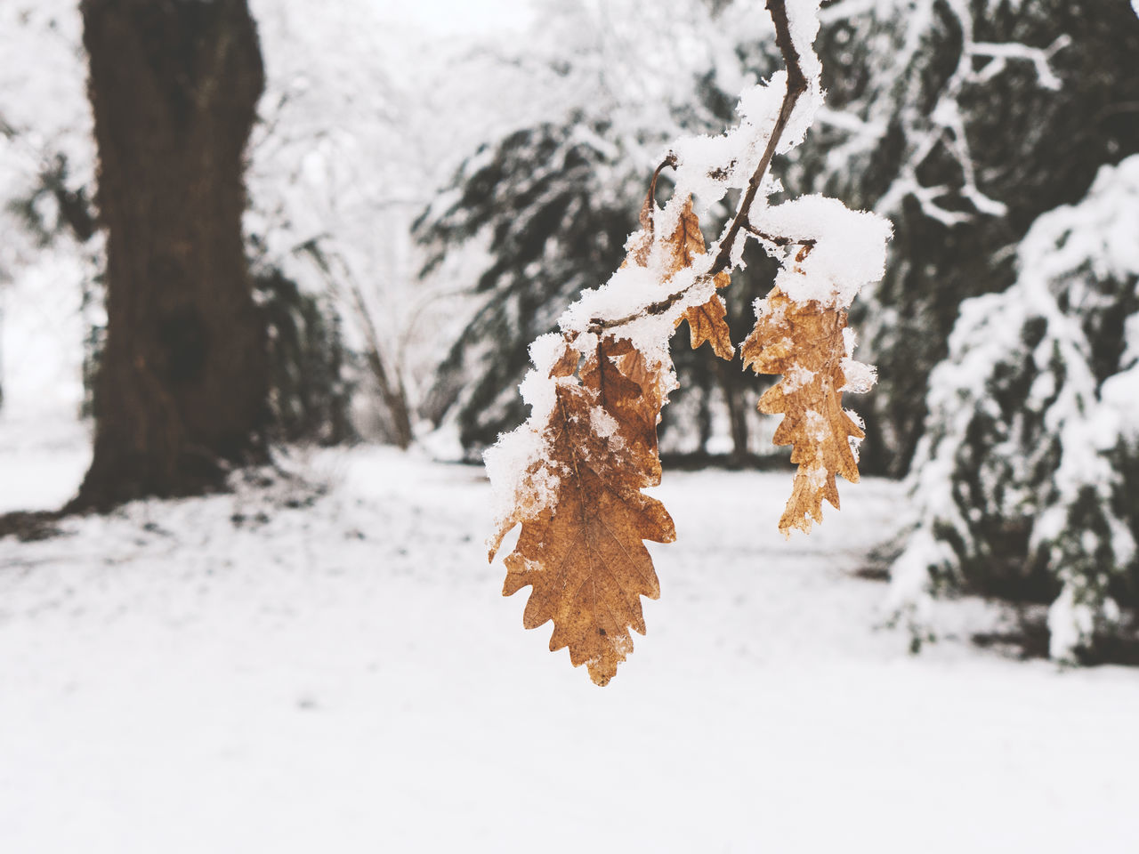 Beauty In Nature Cold Cold Days Cold Temperature Eye4photography  EyeEm Nature Lover Eyeemphoto Focus On Foreground Forest Leaf Nature Outdoors Snow Tree Trees Weather White White Background Winter