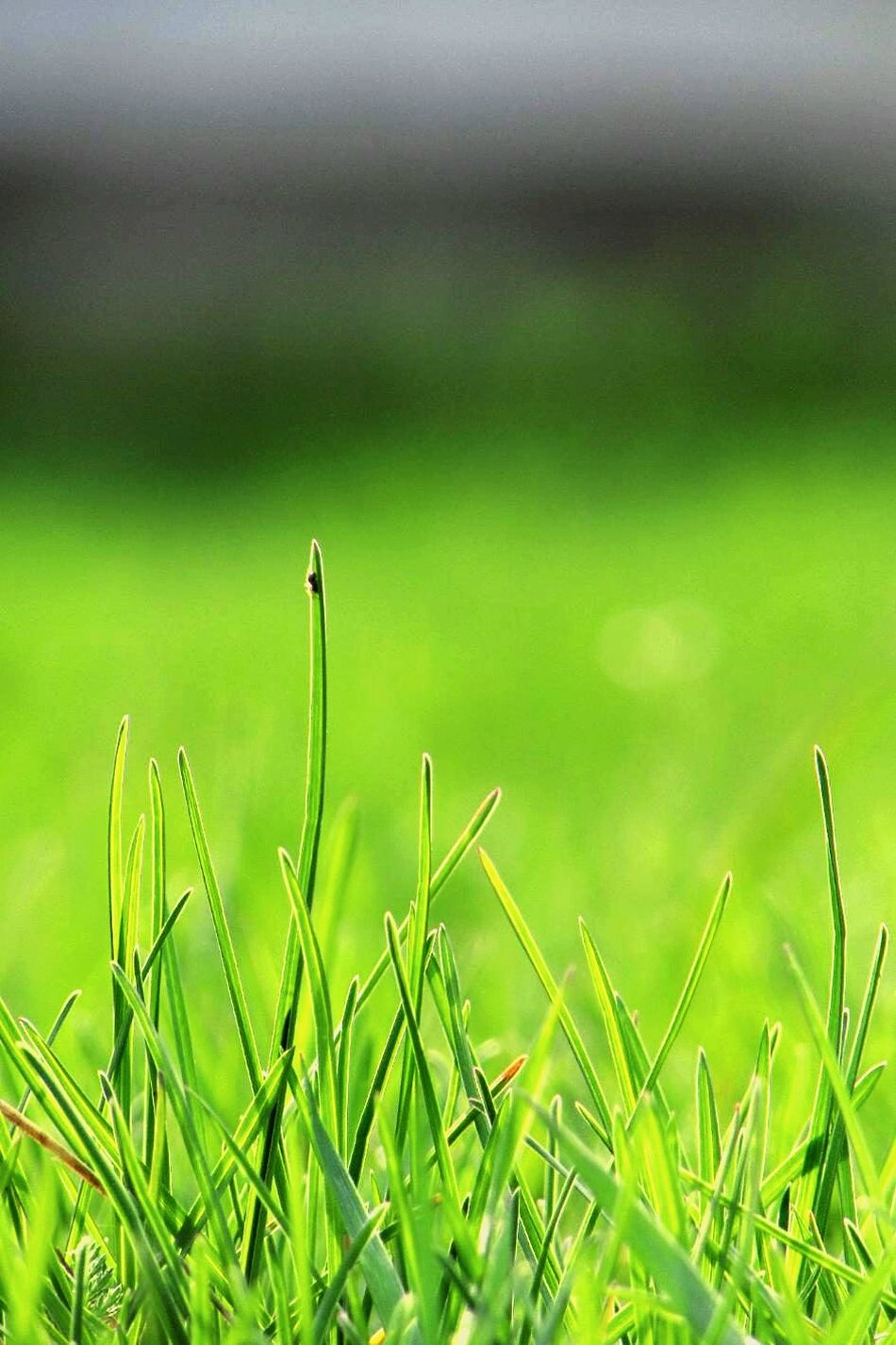 Growth Nature Green Color Field Cereal Plant Outdoors No People Beauty In Nature Rural Scene Day Grass Close-up Wheat Agriculture Freshness Like4l Photoshoot Photography Followback Beauty Followme Like4like Photooftheday Like Followtofollowback
