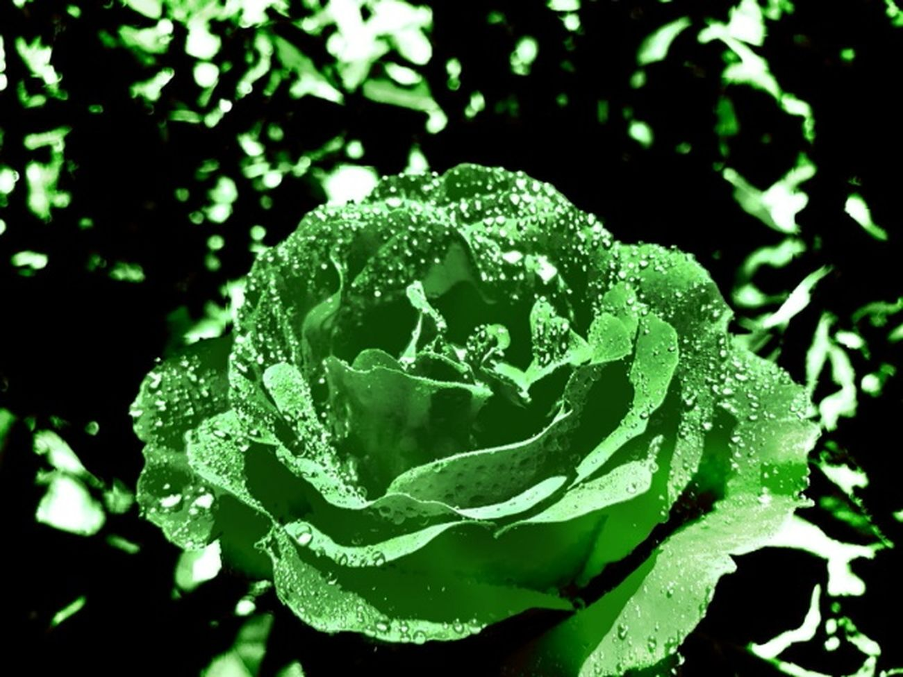 Green rose Roses Rose🌹 Rose♥ Nature_collection For My Friends That Connect Naturelovers Flowers,Plants & Garden Flowers HDR Hdr_Collection