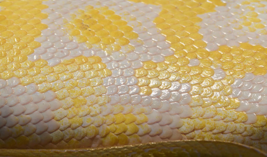 Albino Burmese Python Snake skin pattern detail. Abundance Animal Pattern Animals Background Backgrounds Close-up Colorful Design Detail Full Frame Macro Detail Part Of Pattern Pattern In Nature Pattern Pieces Pattern, Texture, Shape And Form Patterns In Nature Skin Snake Skin Texture Textured  Textures And Surfaces Yellow
