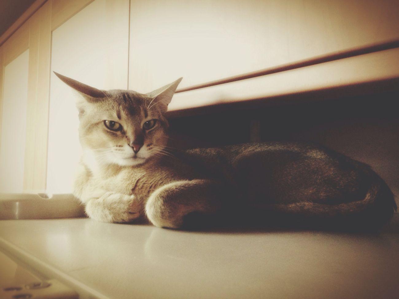 Cat♡ Cat Animals 도도한 그냥. 수컷주제에 이뻐!!