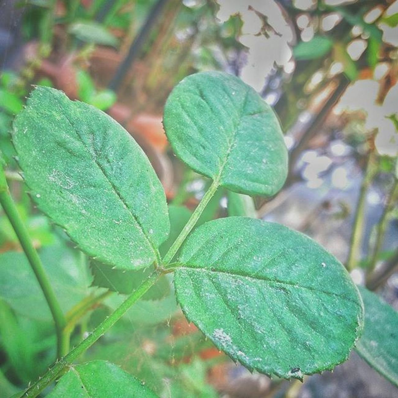 Leafs Plant Green Greenery Scenery Learning PhonePhotography Photographyy Mobile_perfection Mobilecamera SamsungJ7 Mumbai Maharshtra Maharashtra_ig Insta_maharashtra Phodus Mumbaimerijaan Mumbaidairies Mumbaistagram Imagebazaar Naturewalk  Natgeo Nature Naturebueaty Naturelovers Indianphotographersclub indianphotographer firstlookindia inspiroindia ngma mumbaibizarre