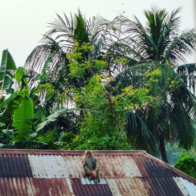 The Monkey King 🐵🐒👑 Green Color Nature Beauty In Nature MonkeyForest Tree Green Color Growth Plant Nature Palm Tree No People Day Animal Themes Leaf Outdoors Beauty In Nature Greenhouse