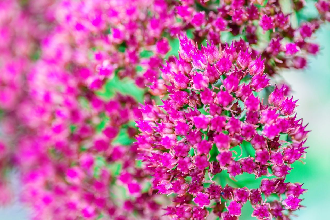 Vibrant pink flowers Canonphotography Canon5Dmk3 Pink Flower Macro Photography Garden Love Macro Flowers, Nature And Beauty Garden Photography Vibrant Colors Colourful Nature Flowers,Plants & Garden Photographylovers Colors Relaxing