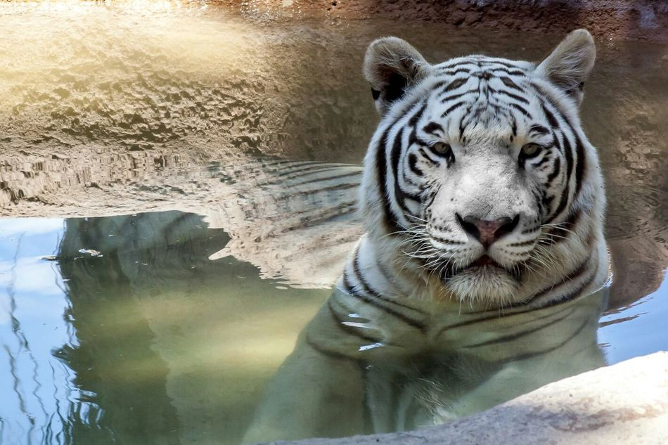 Beautiful stock photos of tiger, Animal Themes, Animals In The Wild, Day, Front View