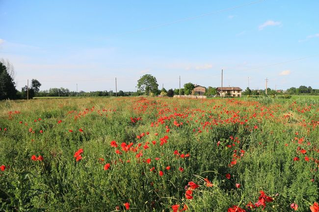 POPPIES FIELD... Nature Nature_collection Taking Photos Getting Inspired Countryside Poppy Poppy Flowers Poppies  Field Landscape Light Sunlight Sunshine Italia Italy Flowers Flowerporn Flower Simplicity Sky Skyporn Red Green Secret Garden Tree