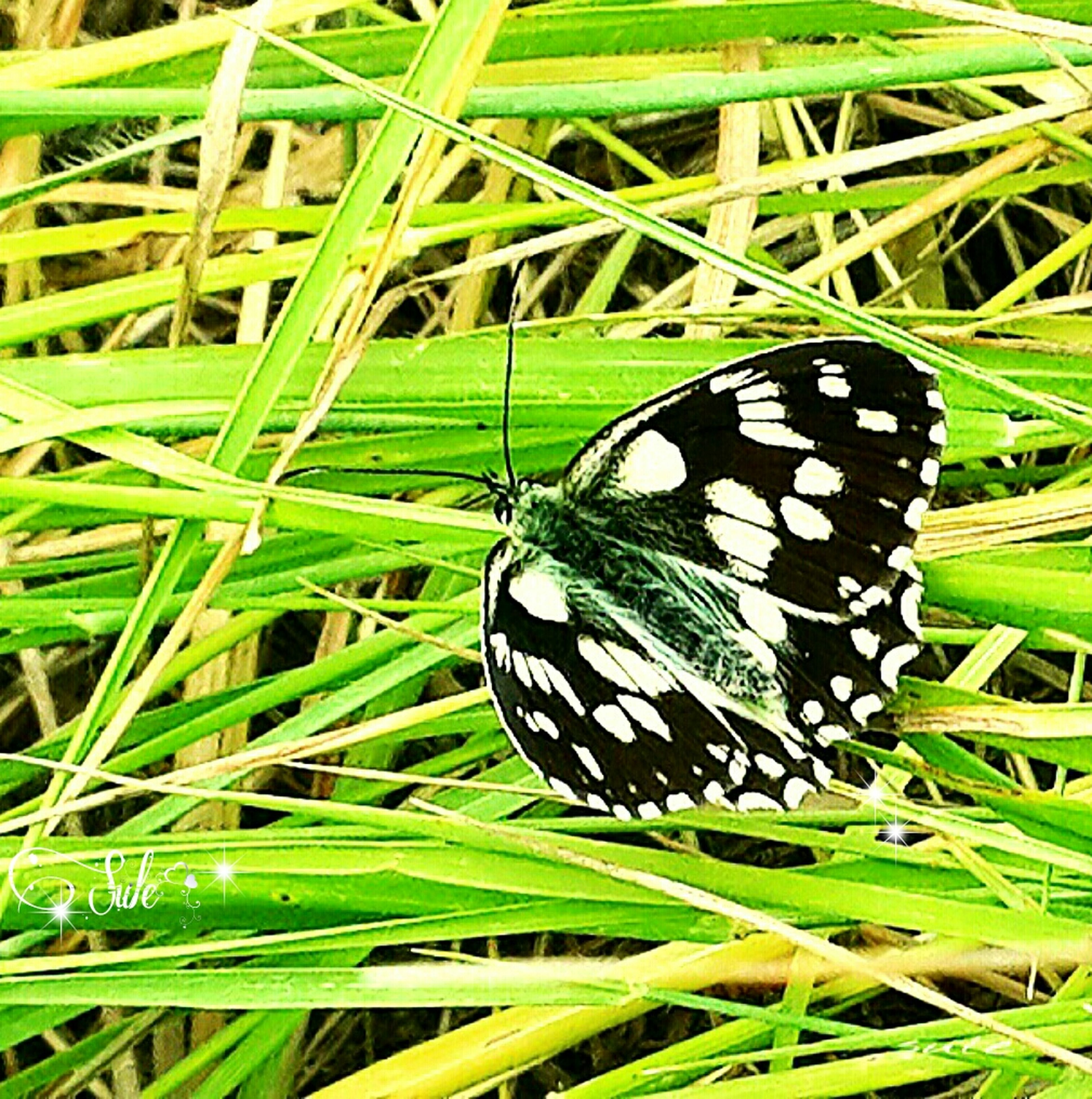 butterfly - insect, insect, butterfly, animals in the wild, one animal, green color, grass, leaf, plant, animal themes, close-up, wildlife, growth, animal markings, nature, beauty in nature, natural pattern, focus on foreground, field, outdoors
