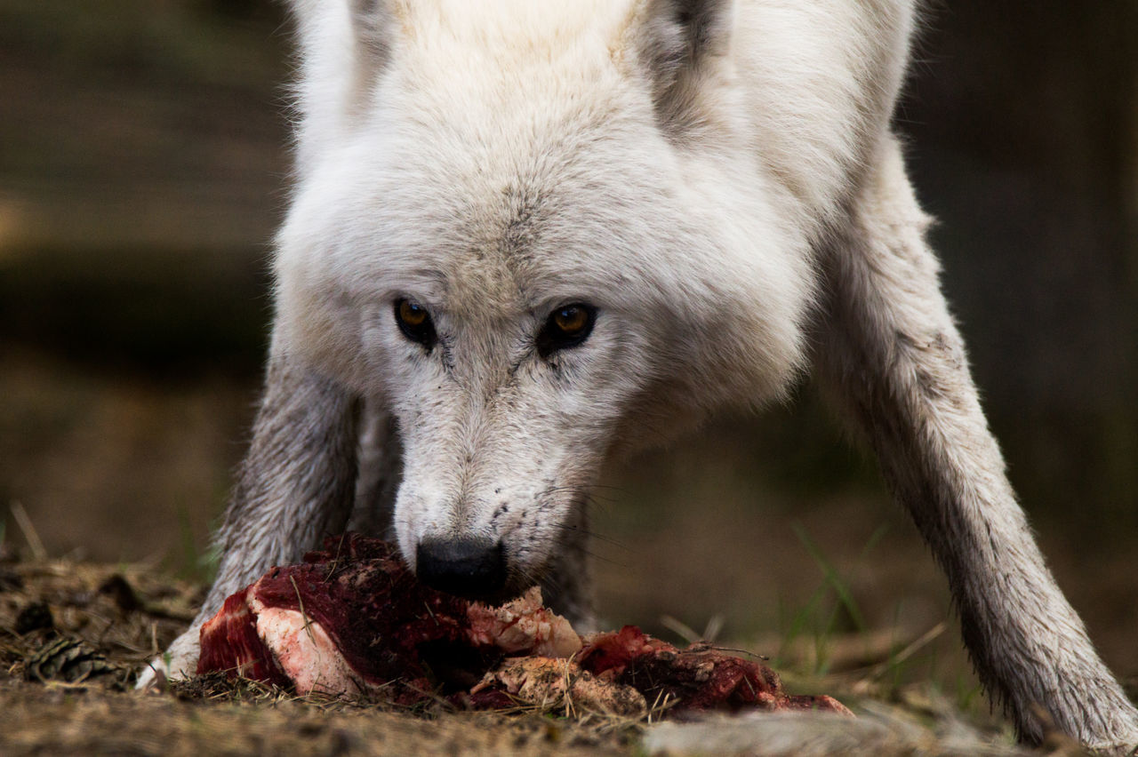 Animal Themes Animal Wildlife Animals In The Wild Close-up Day Focus On Foreground Mammal Nature No People One Animal Outdoors Polar Wolf Wolf