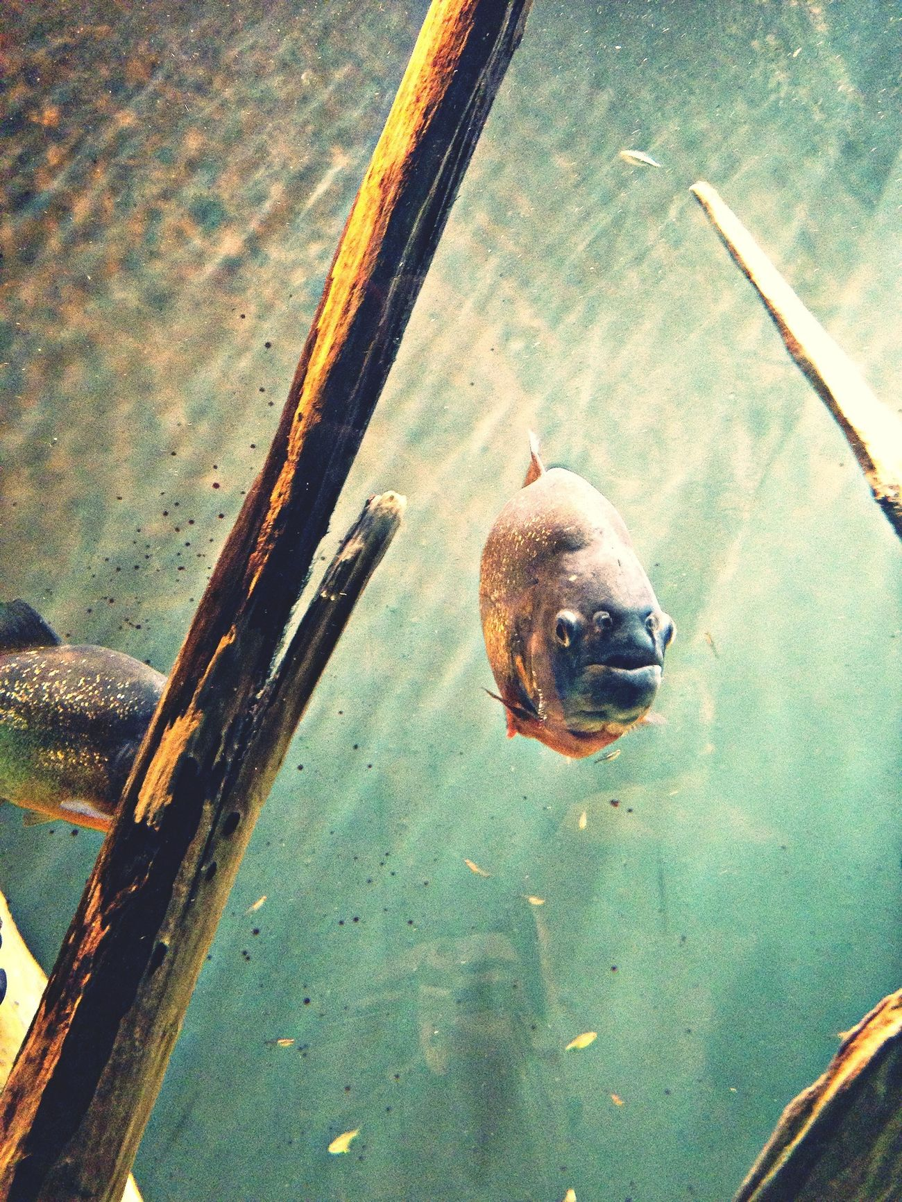piranha tank at biodome Piranhas Fishtank Biodome Montréal