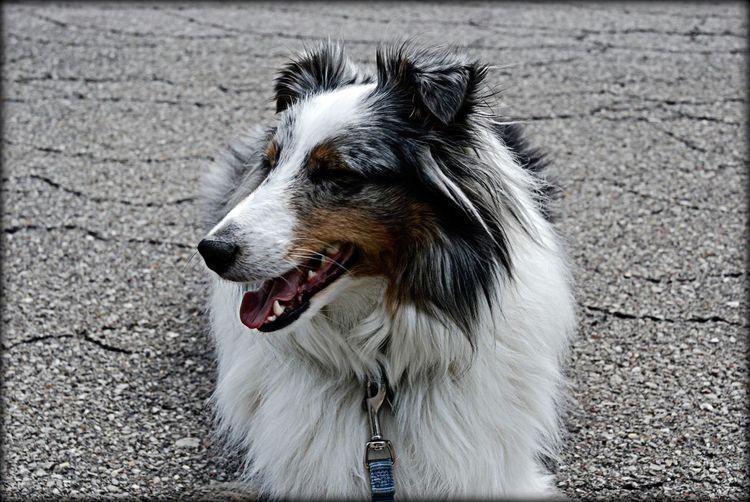 Sammy Shetland Sheepdog Blue Blue Merle Blue Merle Dogs Shelties  Pet Photography  Pets Pets Corner Canines Animals