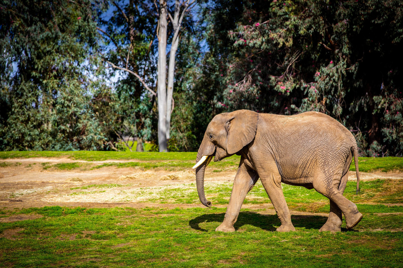 Animal Animal Themes Animal Wildlife Elephant Grass Mammal Nature No People One Animal Oroszphotography Outdoors Safari San Diego San Diego Zoo Tree Tusk
