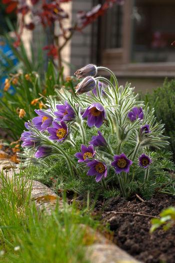 Dane's Blood Gardening Blooming Day Flower Flower Head Garden No People Pasque Flower Petal Plant Pulsatilla Spring Flowers