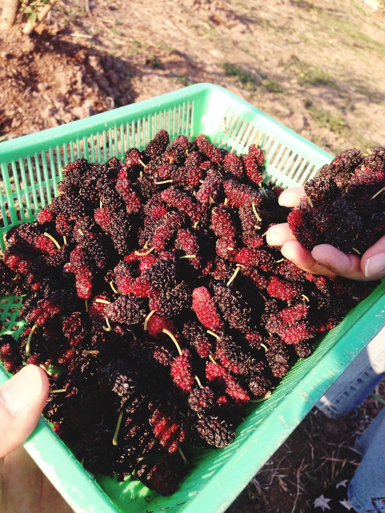 Fresh Mulberries from Daily Green Farm Sweet