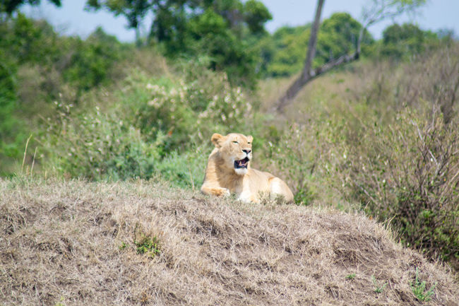 African Beauty African Safari Animal Themes Beauty In Nature Big 5 Domestic Animals Field Focus On Foreground Hunter Kenya Kenyanphotographer Lion One Animal Outdoors Safari Park Sitting Tranquil Scene Travel Destinations Travel Photography