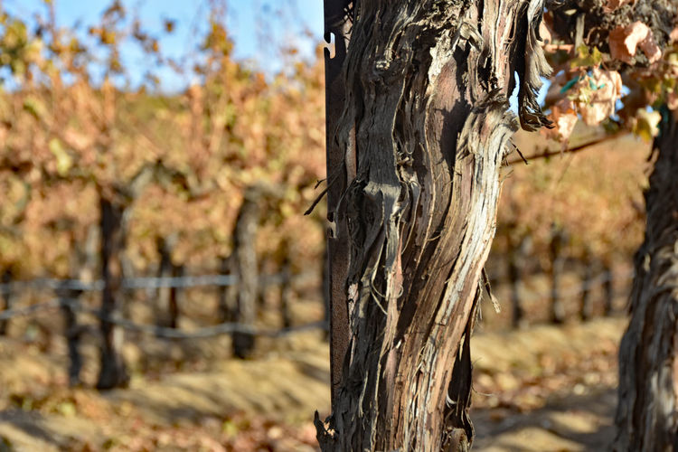 Autumn Leaves Nature Temecula, Ca. Textured  Beauty In Nature Blue Sky Brown And Blue Focus On Foreground Grapevines  No People Ordered Objets Outdoors Selective Focus Sunny Day Vineyard Wine Country