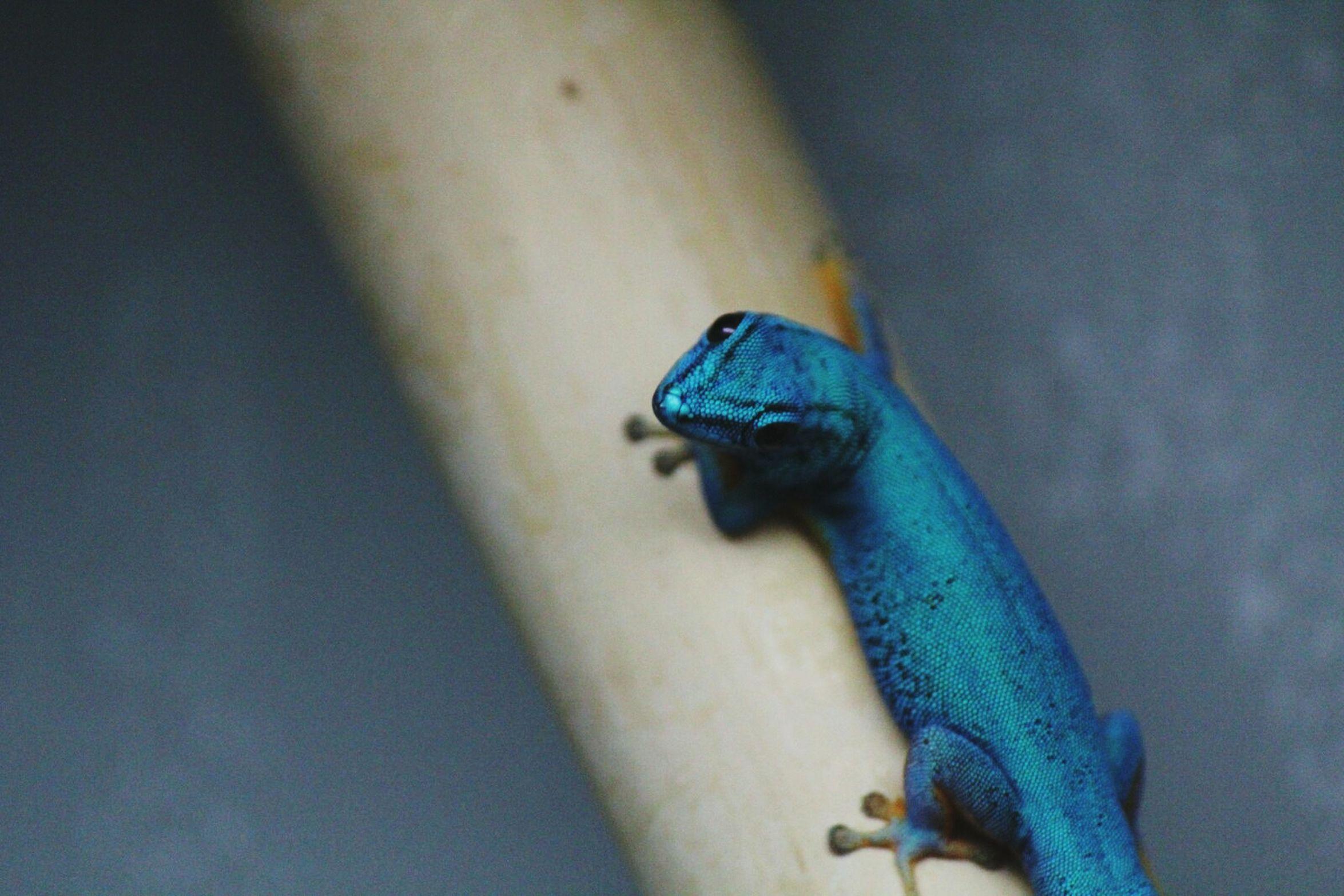 Blue Lizard Wilhelma Reptile Beautiful Animal