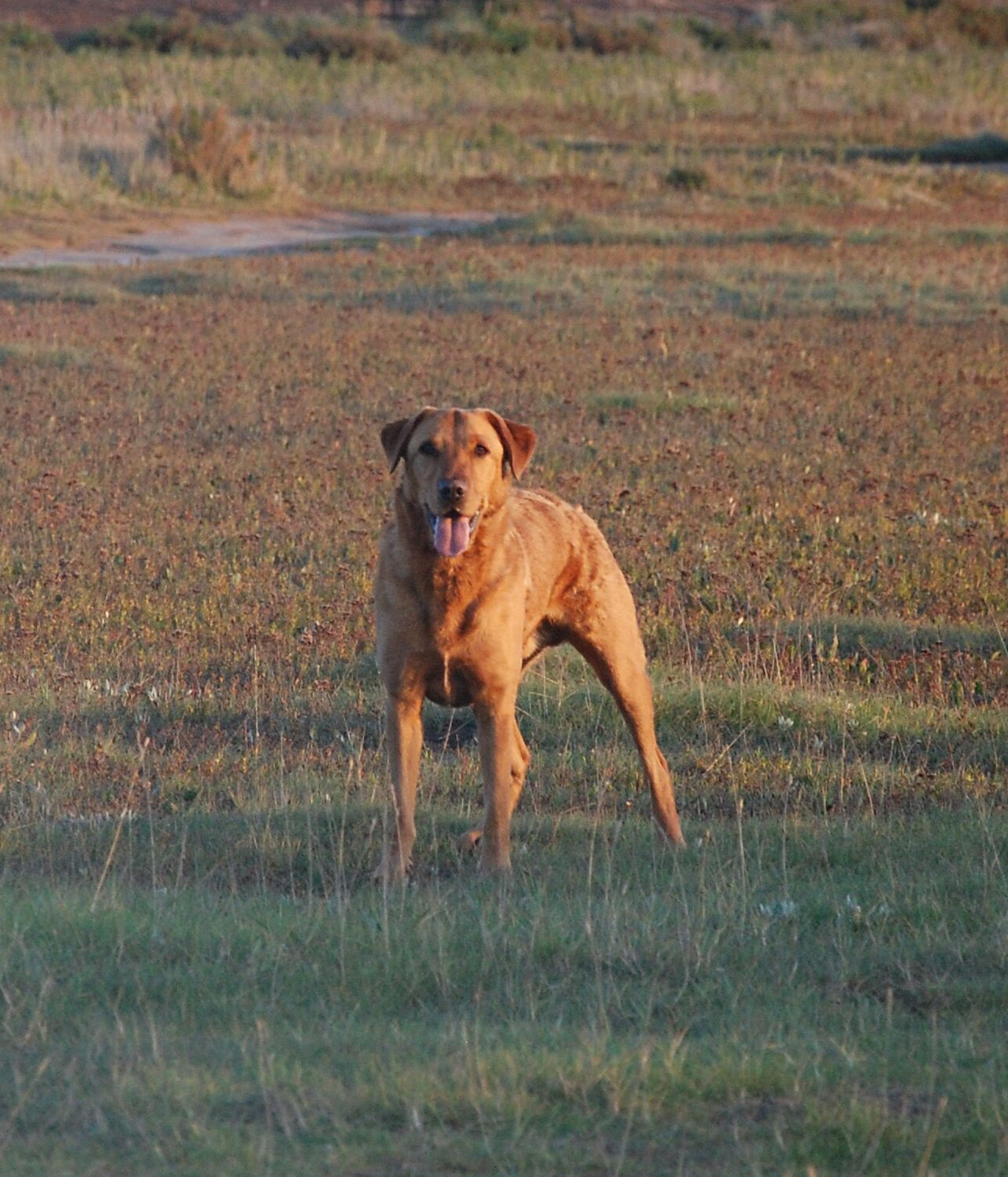 Dog Domestic Animals Pets Animal Themes One Animal Mammal Grass Field No People Growth Nature Portrait Outdoors Day Fetch Red Lab Labrador LabradorRetriever Fox Red Lab Labrador Retriever