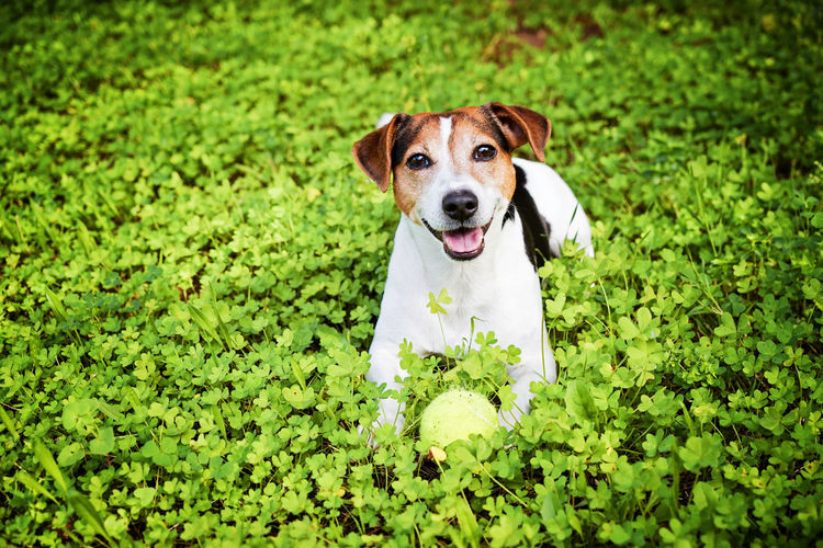 Allergy Allergy Season Animal Themes Bloom Blossom Dog Grass Green Hay Haying Time Fever Jack Russell Terrier One Animal Outdoor Playful Dog Playing Spring Summer Tennis Ball Pet Portraits
